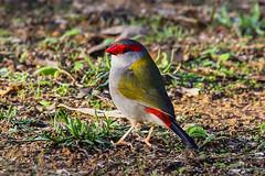 Red-browed Firetail (CampaspeBirdo) Tags: 52 australianbirds redbrowedfiretail neochmiatemporalis axedlevic