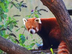 DSCN9646 (Sookie's Photography) Tags: birds animals tiger tigers meercats monkeys cubs bigcats pandas redpandas meerkats leopards snowleopards snowcubs flikrbigcats
