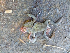 squished frog (pahlkadot) Tags: keebeach flickrandroidapp:filter=none