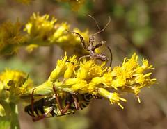 Chaos On The Goldenrod (mcnod) Tags: ant goldenrod september assassinbug locustborerbeetle 2013 sineadiadema spinedassassinbug mcnod bwibiketrail