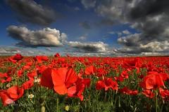 La vie en rouge (photosenvrac) Tags: rouge photo culture vert bleu ciel nuage couleur coquelicot sologne thierryduchamp