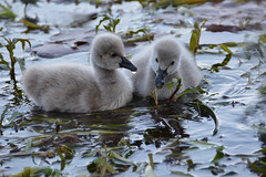 Aren't we too cute (Lynne Karen) Tags: newzealand lake bird nature swan babies northshore northisland blackswan takapuna cynets lakepupuke