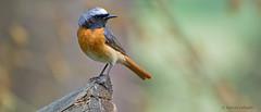 Redstart (male) (KHR Images) Tags: wild male bird nature wales nikon wildlife redstart phoenicurusphoenicurus d7100 chatsandthrushes kevinrobson khrimages martegvalley