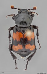 Nicrophorus_guttula_ZE.13105_dorsal (Specimens from the Zoology Collections at the DMNS) Tags: orange black museum bug insect dead utah colorado shiny beetle insects denver bugs collection collections carrion museums database zoology entomology dmns pinned coleoptera carrionbeetle denvermuseumofnaturescience silphidae nicrophorus databased guttula visionarydigital chrisgrinter