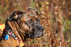 Autumnal Ralph 45/52/13 (Hodgey) Tags: autumn brown man maine handsome eyed brindle ralph jowls boxerx 52weeksfordogs thedogofmanyfaces