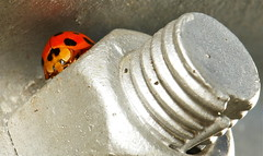 She surveyed her minions from atop her fortress of solitude.. (John Horstman (itchydogimages, SINOBUG)) Tags: china red macro lady insect top beetle ladybird ladybug yunnan fbe coleoptera coccinellidae reddit tumblr itchydogimages sinobug