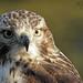 Juvy Redtail Hawk Portrait 1