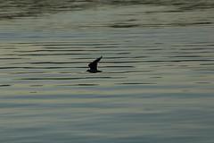 Mwe ( Vogel - Bird ) ber dem Zrichsee in der Schweiz (chrchr_75) Tags: chriguhurnibluemailch christoph hurni schweiz suisse switzerland svizzera suissa swiss chrchr chrchr75 chrigu chriguhurni 1312 dezember 2013 hurni131223 zrichsee see lac lake lago albumzrichsee zrisee dezember2013 albummweninderschweiz mwe gull mouette gabbiano meeuw mke ms gaviota