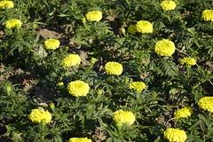 African Marigold (ddsnet) Tags: plant flower sony taiwan cybershot   taoyuan    africanmarigold  rx10  851