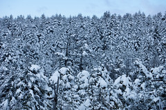 Many Fir Trees