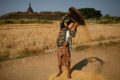 Winnowing rice (Lil [Kristen Elsby]) Tags: travel topf25 topv2222 temple burma editorial myanmar agriculture ricefields rakhine riceharvest travelphotography winnowing mrauku riceharvesting winnow rakhinestate koethaung koethaungtemple myohaung ricefarming mraukoo canon5dmarkii myanmar2013 ricewinnowing