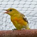 An Immature Female Baltimore Oriole