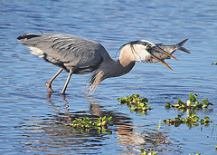 Mouthful (ronboring) Tags: bird heron nature florida greatblueheron myakkariverstatepark