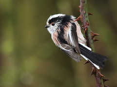 Wet Long Tailed Tit [Explored] (bojangles_1953) Tags: avianexcellence
