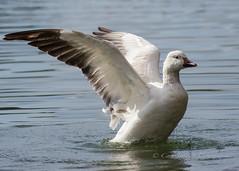Wing throw..... (cbjphoto) Tags: park city snow bird photography goose tri avian chencaerulescens carljackson