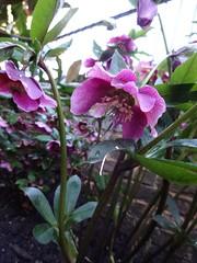 DSC02769 (Julie70 Joyoflife) Tags: flowers london spring fevrier photostroll photojuliekertesz midfebruary springwalksinlondon springflowersinfebruary