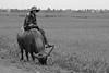 Buffalo (veri disquo) Tags: travel people smile animal asia asien southeastasia südostasien break rice reis vietnam hoian backpacking bauer farmer pause reise bufallo wasserbüffel landwirt büffel waterbufallo