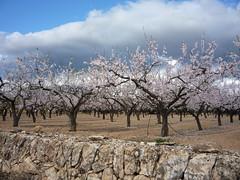 Mandelhain- almond orchard (Marlis1) Tags: trees clouds wolken orchard mandelblte mandelbaum almondtrees prunusdulcis marlis1 tortosacataluaespaa