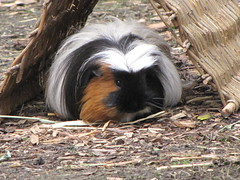 Guinea Pig with Long Hair (shaire productions) Tags: hairy nature grass animal hair fur zoo penguin guineapig photo wildlife picture pic study photograph hiding creature sfzoo sanfranciscozoo imagery