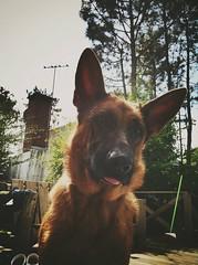 Celeste (laurw) Tags: dog perro german shepard aleman ovejero parquedelplata uploaded:by=flickrmobile brooklynfilter flickriosapp:filter=brooklyn