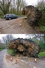 Tree blown down in the storms - Bramdean (fstop186) Tags: road storm tree warning chalk dangerous highway roots junction clay fallen massive damage obstruction crossroads cones bramdean