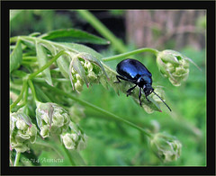 Elzenhaantje ( Annieta  - on/off) Tags: holland nature netherlands canon bug insect nederland natuur powershot april polder insekt allrightsreserved 2014 krimpenerwaard coth annieta agelasticaalni elzenhaantje usingthisphotowithoutpermissionisillegal sx30is