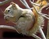 Spruce cone snack (diffuse) Tags: squirrel redsquirrel cone eating sprucecone greenash tree perched backyard 14apr29 skipper tamiasciurushudsonicus