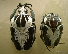 Goliath beetles (elnina999) Tags: nature insects bugs naturephotography goliathbeetle bigbeetle blackandwhitebeetle nokialumia1020 largestinsectonearth
