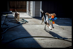 Cops and robbers (melekzek) Tags: max beagle dogs maya cheweenie canoneos5dmkiii