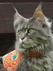 Breeze before the rain, 10 May 14 (Castaway in Scotland) Tags: blue pet cute animal cat silver grey scotland tabby gray maine adorable kitty olympus east coon lothian musselburgh e410