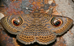 Wavy Owl Moth (Calliodes pretiosissima) (berniedup) Tags: southafrica moth bergendal kruger erebidae calliodespretiosissima wavyowl taxonomy:binomial=calliodespretiosissima