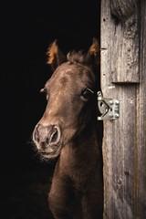 foal peek (Jen MacNeill) Tags: horse baby cute animal barn breed stable colt equine foal rockymountainhorse mountainhorse
