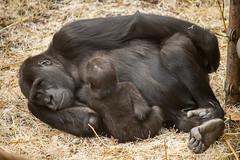 2015-02-19-12h36m06.BL7R3316 (A.J. Haverkamp) Tags: zoo gorilla arnhem thenetherlands burgerszoo dierentuin westernlowlandgorilla naika westelijkelaaglandgorilla nirale canonef100400mmf4556lisusmlens httpwwwburgerszoonl pobarnhemthenetherlands dob01022005 dob23112013