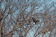 Spring Lake Eagles (Macomb Paynes) Tags: illinois nest eagle eagles springlake macomb americanbaldeagle