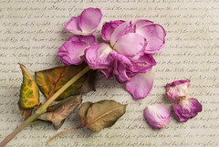 pink roses 02 feb 15 (Shaun the grime lover) Tags: pink flower leaves rose writing dead leaf petals day valentine petal valentines script
