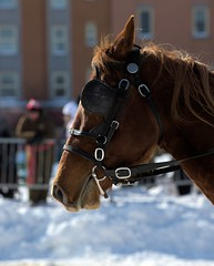 Derby St-Hubert 2015 : Carnaval Qubec 2015 : Comptition d'attelages (eburriel) Tags: horse snow canada caballo cheval grande quebec hiver picture competition course carnaval neige derby qc ville allee sthubert  spectacle haken 2015  attelage  enganche   eburriel