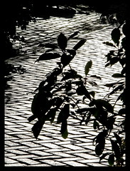 urban jungle (Mattijsje) Tags: street urban blackandwhite bw monochrome amsterdam silhouette zwartwit pavement stones bricks tiles jungle urbanjungle leafs streetview stoep straat herenmarkt bladeren kamerplant keien