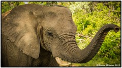 Elephant Portrait (RMD-Imagery) Tags: africa elephant game wildlife south reserve kapama omdem1
