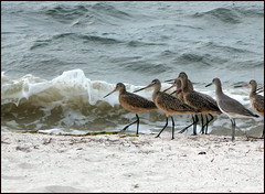 Behold, the Marbled Godwit! (edenseekr) Tags: birds florida seashore marbledgodwit