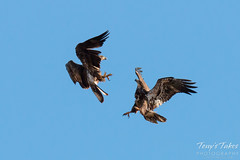 Juvenile Bald Eagles Play in the Sky Sequence - 3 of 10