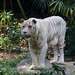 """White Tiger • <a style=""""font-size:0.8em;"""" href=""""http://www.flickr.com/photos/128593753@N06/16535776592/"""" target=""""_blank"""">View on Flickr</a>"""