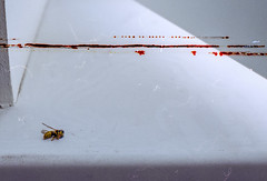 dead wasp (mmixa) Tags: white window bug insect dead death wasp trace bee hornet dust windowsill