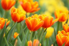 (Carl_W) Tags: orange flower green nature yellow canon hongkong eos spring tulips tulip flowershow 6d eos6d canoneos6d hongkongflowershow2016