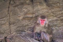 Japanese Macaque (aotaro) Tags: japan monkey yokohama japanesemacaque zoorasiayokohamazoologicalgardens omdem1 mzuikodigitaled75300mmf4867ii
