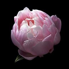 Peony P - Mrs FDR (Explore) (Pixel Fusion) Tags: flower macro nature flora nikon peony d600