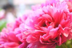 (noidcanuse2011) Tags: pink plant flower nature bokeh m43 gf2 lumixg20f17