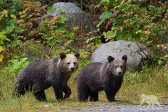 Grizzly Cubs (fascinationwildlife) Tags: bear wood wild brown canada cute nature animal forest mammal cub bc wildlife natur young columbia inlet british grizzly predator br braunbr kanada bute