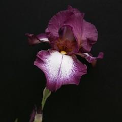 iris (peltier patrick) Tags: flowers iris flower macro fleur fleurs plante garden petals berry jardin petal printemps couleur ptale carr ptales fondnoir peltierpatrick fleursbicolores
