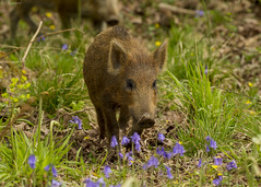 wild boar in the bluebells (roly2008.) Tags: canon mammal wildlife piglet boar wildboar forestofdeane 1dmkiv 100400mmmkii
