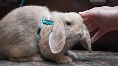 DSC_0021 (divi333) Tags: rabbit bunny bunnies ferrara rabbits conigli coniglio 2016 conigliando